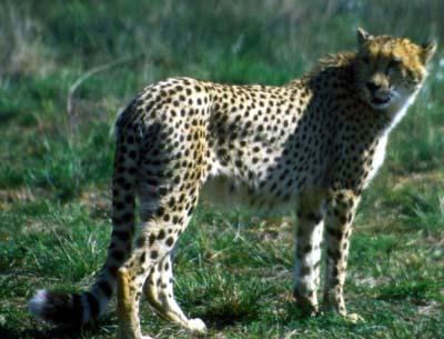 guepard.jpg