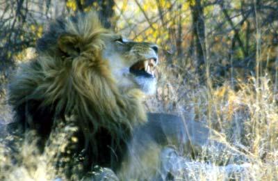 lion2nxai.jpg
