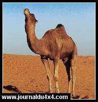 dromadaire-tunisie.jpg