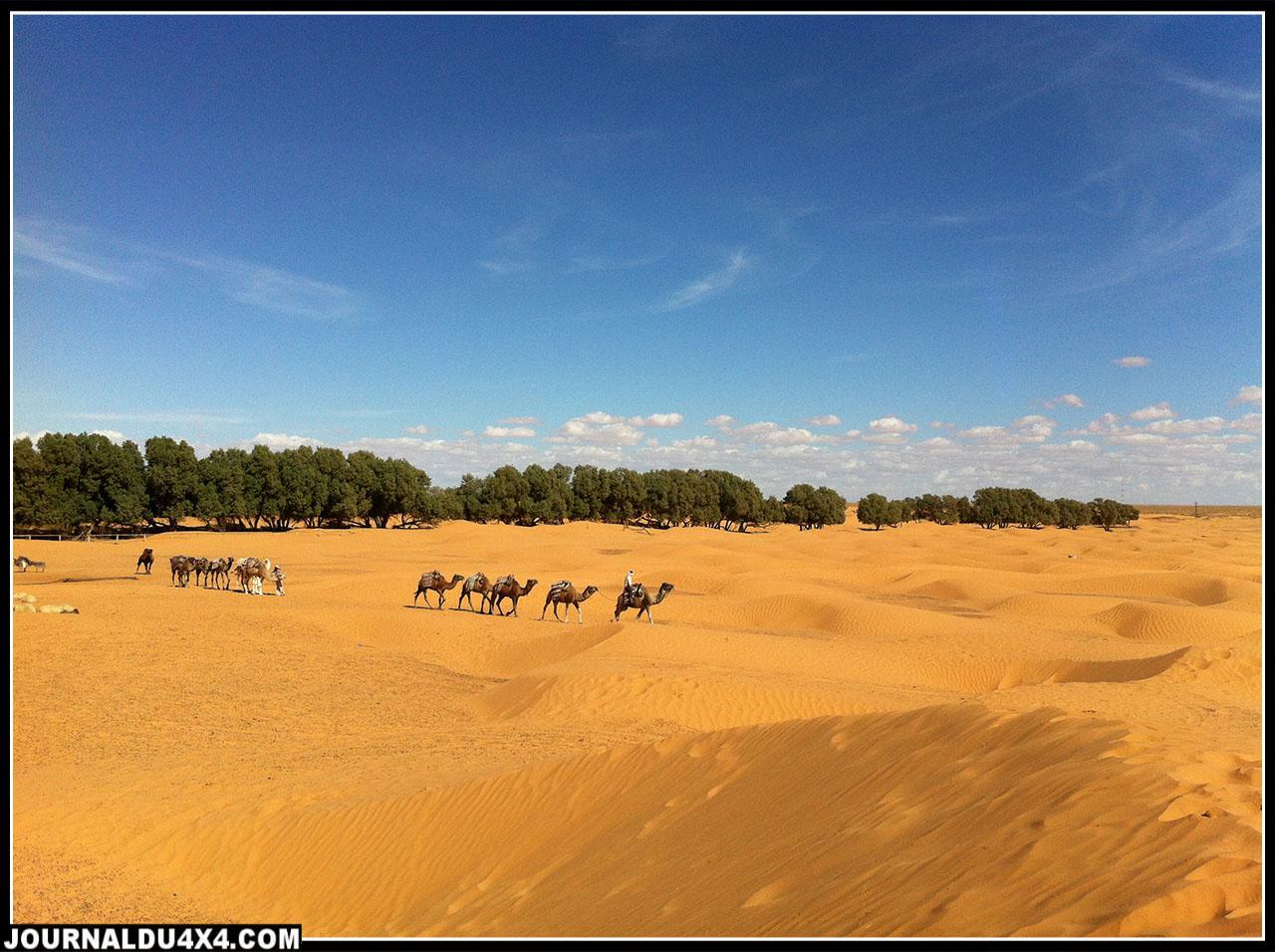 des dromadaires qui attendent les touristes près de l'oasis de Gsar Ghilane