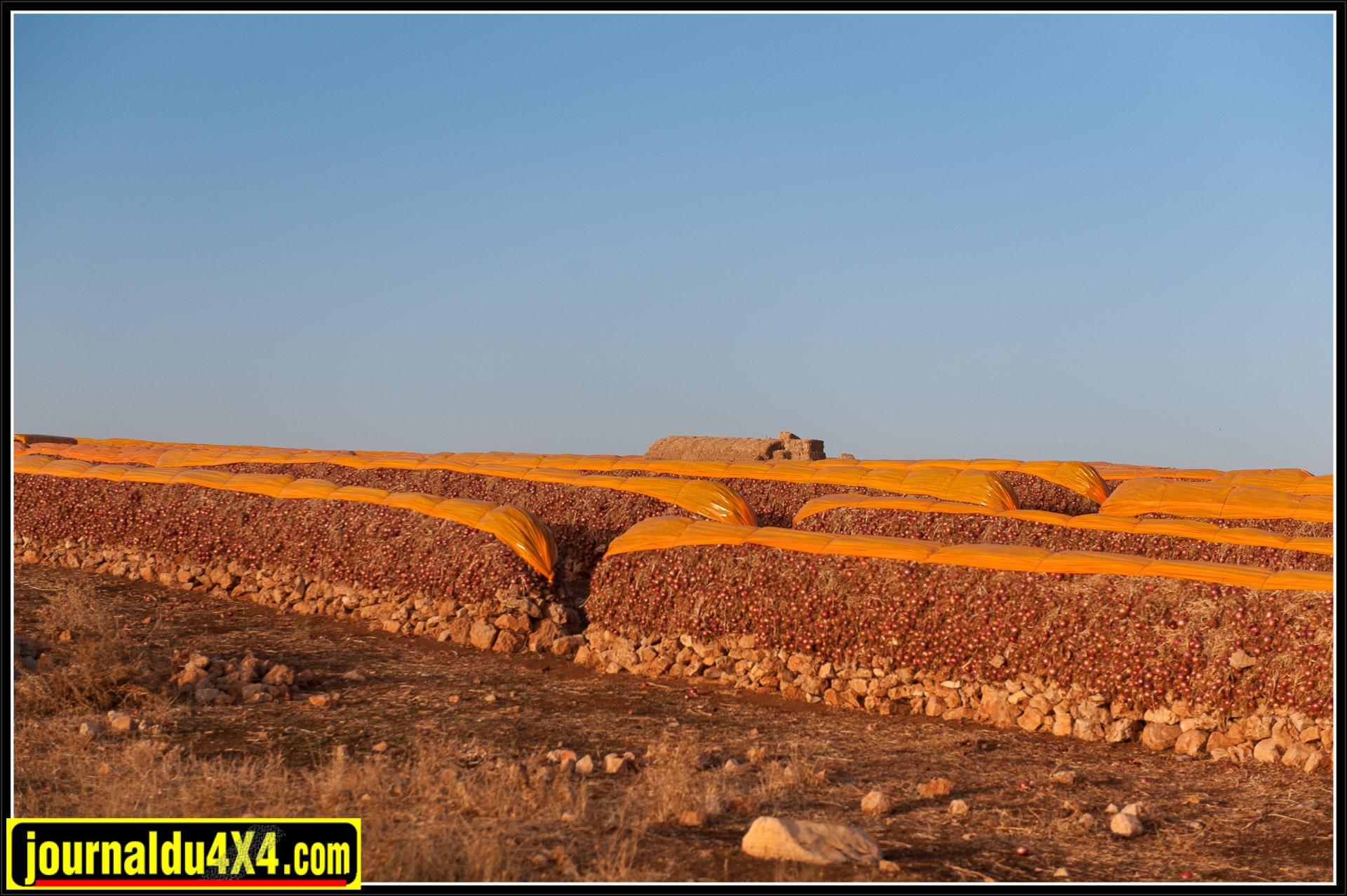 Des oignons fraichement récoltés sont entreposés le long de la route.